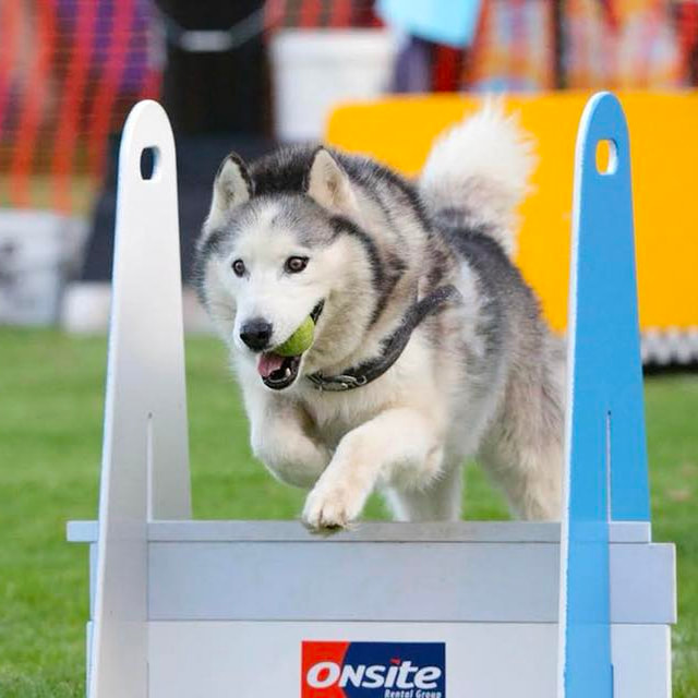 flyball castle hill